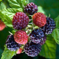 Check out one of our favorite berry varieties - these USDA Organic Cumberland Black Raspberry Plants are delicious! Raspberry Bush, Raspberry Plants, Blackberry Plants, Growing Blackberries, Powdery Mildew, Fast Growing Plants, Tropical, Root System, Organic Fertilizer
