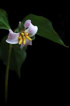 Trillium catesbaei - Rosy Wake-Robin   by c.buelow