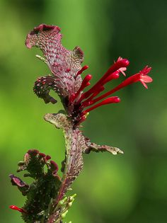 Fasciated Fire Spike Flower, Fairchild Tropical Botanic Garden. | Flickr - Photo…