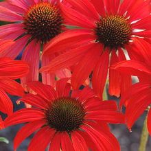 For more information about Echinacea 'Tomato Soup'