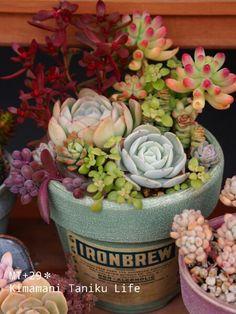 MT+29* ∞ 気ままに多肉life ∞ - もっと見る Succulents In Containers, Cacti And Succulents, Planting Succulents, Planting Flowers, Succulent Gifts, Miniature Plants, Succulent Arrangements, Cactus Y Suculentas, Farm Gardens