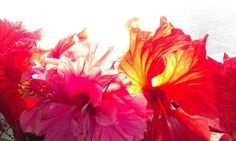 Wow a Hibiscus with a backlight