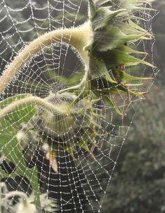 Cobweb, spiderweb in front of sunflowers. Spider web