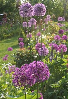 I love Allium. Mine are just begining to flower. They add such whimsy to the garden.