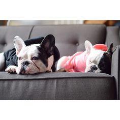 Biological siblings fur life! French Bulldogs.