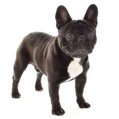 French Bulldog - Small Dog Breed | Dog Fancy