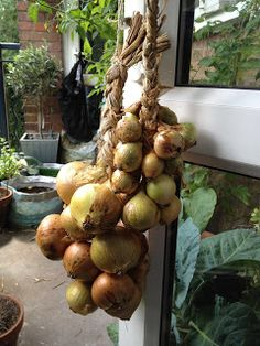 After leaving the Onions to dry out in the small greenhouse over the last few weeks, last weekend I finally got around to trying out how to . Growing Onions, Small Greenhouse, Plaits, Daughters, Balcony, Fruit, Vegetables, Bang Braids, Cornrows