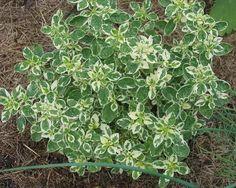 Origanum vulgare 'Variegata