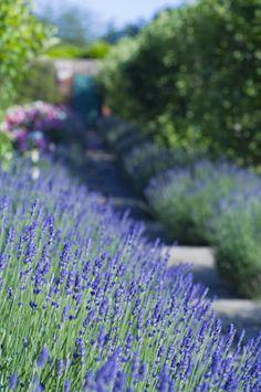 Lavender lines a path at Greys Court, Henley-on-Thames, Oxfordshire nationaltrustimages.org.uk