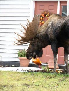 "Things that happen in Canada: ""Damn moose eating my pumpkin"""