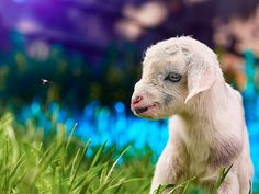 Wallpapers Goat Cubs Grass Animals