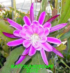 Epiphyllum hybrid 'Zotz'