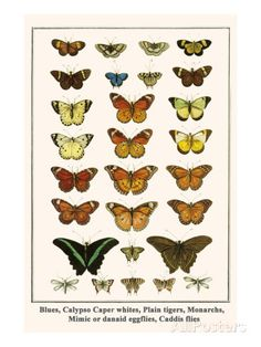 Blues, Calypso Caper Whites, Plain Tigers, Monarchs, Mimic or Danaid Eggflies, Caddis Flies Fotografía por Albertus Seba en AllPosters.es