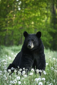 Bear Spirit Animal ♂ Masculine Animal in Nature - Black bear Nature Animals, Animals And Pets, Cute Animals, Animals In The Wild, Wildlife Nature, Beautiful Creatures, Animals Beautiful, Beautiful Cats, Photo Ours