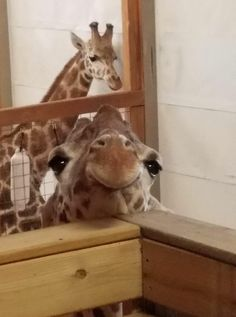 April the Giraffe with Ollie (baby 's Father) in the background. Giraffe close up Noses Zoo Animals, Animals And Pets, Funny Animals, Cute Animals, Wild Animals, Giraffe Art, Cute Giraffe, Giraffe Pictures, Funny Animal Pictures