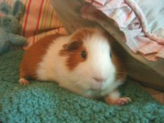 A guinea pig named Cutie...:-)  Guinea Pigs ❤❤❤  Timothy Hay Delivered Fresh/Direct! Click http://smallpetselect.com/timothy-hay/ FbookFriends: Use code ✔softNgreen✔ For Free Shipping