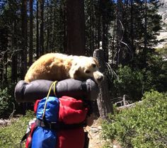 And this gentleman who carried his favorite lady home after their long camping trip. | 22 Times Humans Were A Dog's Best Friend