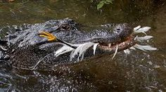 Dinner time for this hungry Florida Alligator.