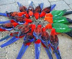This beautiful circle of colors was taken at Lemington national park,south gold coast of Australia these are native mountain parrots,the blue-red ones are crimson Rosella and red-green ones are king parrot they all were feasting on sunflower seeds