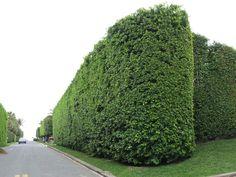 podocarpus macrophyllus hedge - Google Search