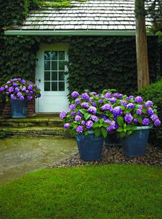 BloomStruck Hydrangea, Hardy Heat Resistant Hydrangea