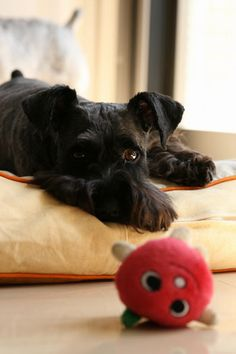schnauzer and toy