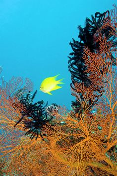 ✮ Golden Damselfish (Amblyglyphidodon aureus), swimming near gorgonian sea fans and crinoids, North Makogai, Fiji.
