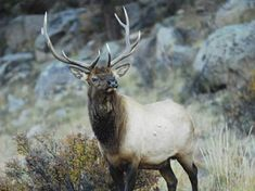 This is an article from Game and Fish magazine about hunting elk in Colorado.