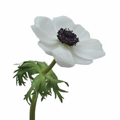 White with Dark Centers Fresh Cut Anemones October to April Delivery