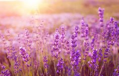 7 Clever Ways To Use Lavender