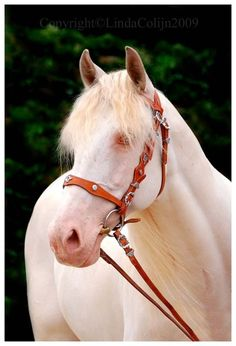 Beautiful cremello