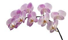 Orquídea para el Día de la Madre