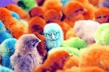 colorful chicks!!! Omg! We used to have a hen house growing up and every Easter we'd all get a colorful chick as our Easter gift! <3 <3