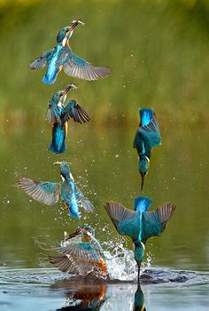 A BEAUTIFUL blue kingfisher dive-bombs straight as an arrow into a lake — and soars majestically back into the air clutching its catch. The incredible picture is made up from six frames taken within milliseconds by wildlife photographer Tony House, 44, from Milton Keynes, at Elstow, Bedford.