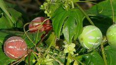 शिवलिंगी (Bryonia Laciniosa) संतान विहीन दंपत्ती के लिये ये पौधा है वरदान