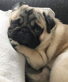 """Receive wonderful suggestions on """"black pugs"""". They are available for you on our web site. Black Pug Puppies, Cute Puppies, Cute Dogs, Dogs And Puppies, Terrier Puppies, Bulldog Puppies, Doggies, Boston Terrier, Cute Baby Animals"""