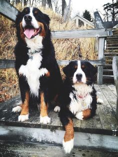 Bernese Mountain Dogs: