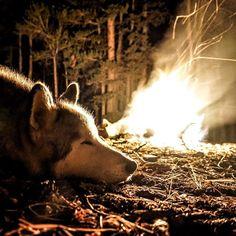 loki_the_wolfdog   Dreams on fire.