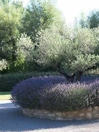 Resultado de imagen de olivo lavanda