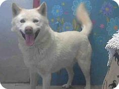 Lancaster, CA - Husky Mix. Meet BEAR a Dog for Adoption. ((URGENT-HIGH KILL SHELTER)) PLS HELP SAVE / SHARE/ RESCUE THIS BEAUTIFUL BOY!!! Look at his fantastic smile!