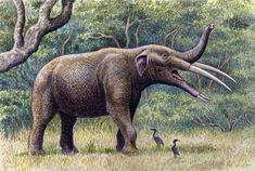 Gomphotherium angustidens From this kind of elephant many others evolved, some called the shovel-tuskers having even longer lower jaws with broad, flat tusks, and others being more similar to modern elephants, eventually losing the lower tusks.  The genus Gomphotherium lived from about 14 to 3.6 million years ago and was found in Africa, America, Europe and Asia!