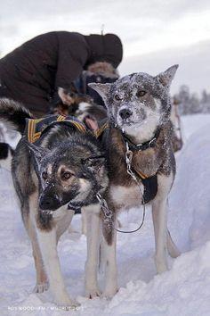 #Swedish Huskies
