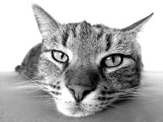 Cat care tips. A cat's habits is definitely a elaborate thing to comprehend. - Cat Care Tips - Katzen Bilder Cute Kittens, Cats And Kittens, Cat Care Tips, Pet Care, Care Care, Transport Chat, Pet Shop Online, Gato Grande, E Book