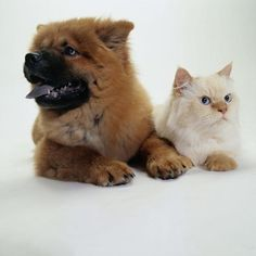 How to Introduce Older Big Puppies to a Tiny Kitten Big Puppies, Kittens And Puppies, Cats And Kittens, Funny Cat Videos, Funny Cat Pictures, Cat Videos For Kids, Tiny Kitten, New Puppy, Dog Photos