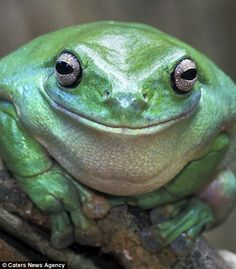 22 Adorable Photos Of Smiling Animals. These Will Make You Smile. Smiling Animals, Happy Animals, Funny Animals, Cute Animals, Beautiful Creatures, Animals Beautiful, Dumpy Tree Frog, Smiley Happy, Funny Frogs