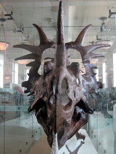 Crâne d'un Styracosaurus albertensis, American Museum of Natural History. Dinosauria, Ornithischia, Marginocephalia, Ceratopsia, Neoceratopsia, Ceratopsidae, Centrosaurinae. Auteur : Claire Houck, 2008.