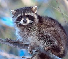 arkansas wildlife raccoon - Google Search