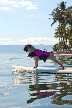 Pug surfing... that looks fun and ADORABLE