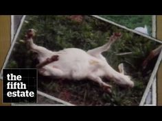 Fainting Goats (1991) - the fifth estate - YouTube