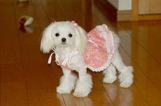 OMG, how stinkin cute is this Maltese?  Love the cut